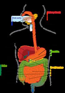 image du colon